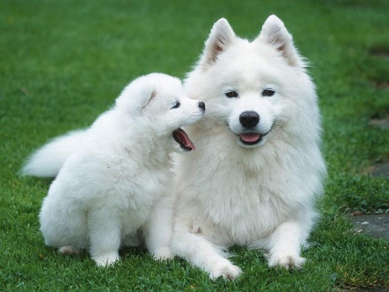 Самые дорогие породы собак – Топ 15