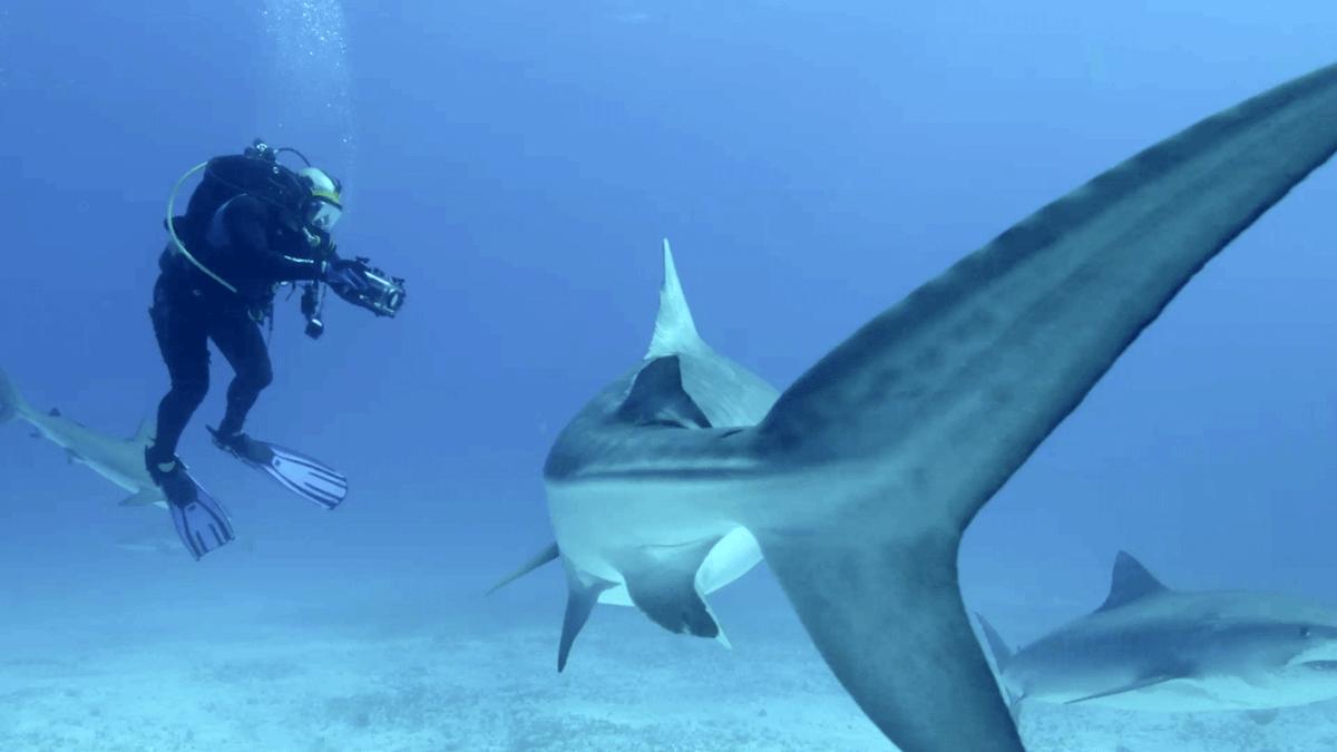 акула5