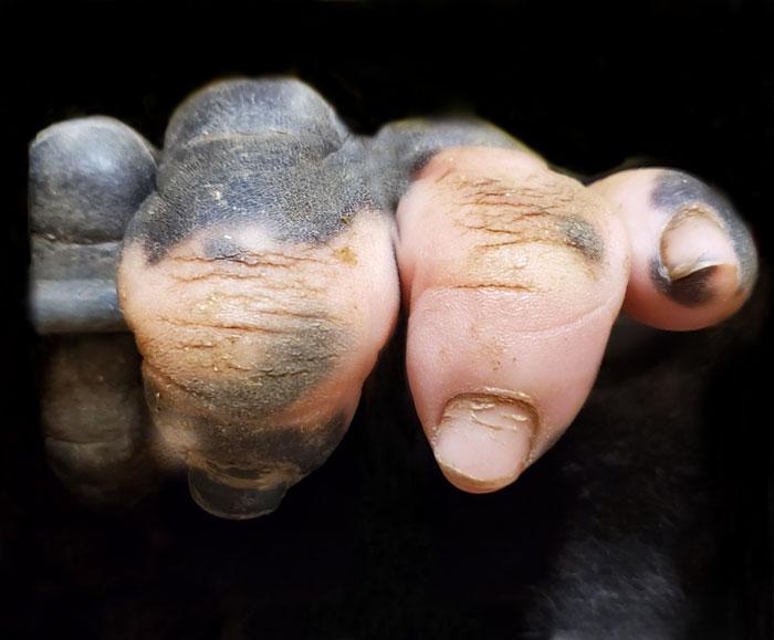 Горилла, рожденная с пигментацией на пальцах, удивляет людей.